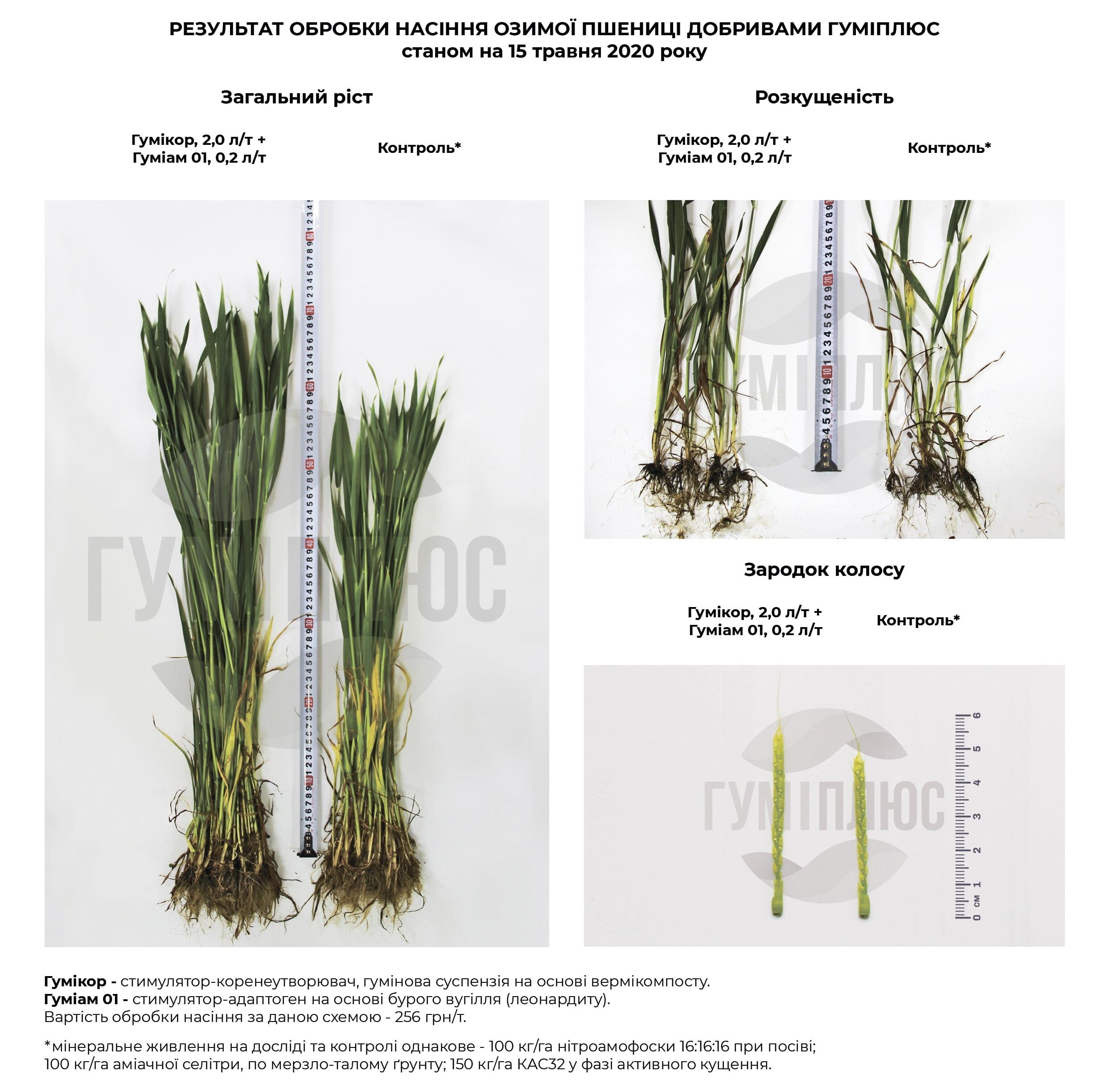 Результат обробки насіння озимої пшениці добривами Гуміплюс станом на 15 травня 2020 року