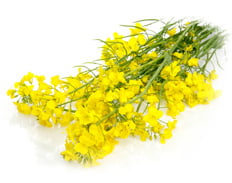 Spring rapeseed